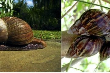 Nigerian snail farmers seek increased FG support